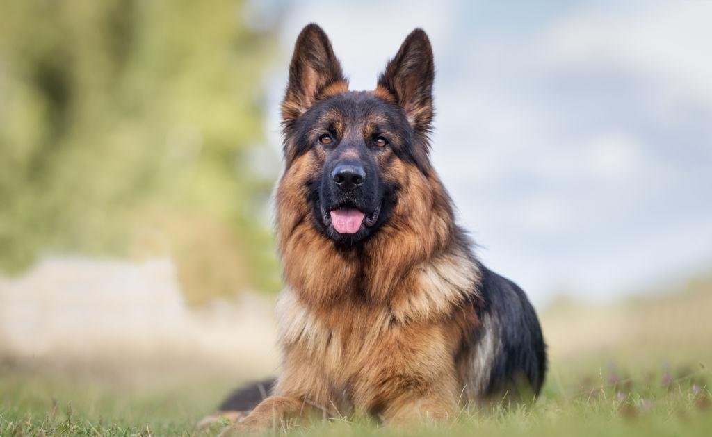Husky – German Sheperd