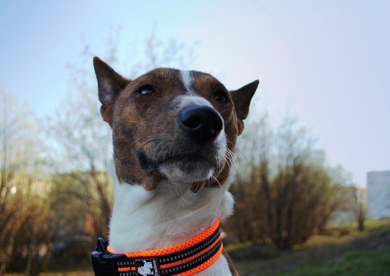 Introduction to Basenji Dog Breed